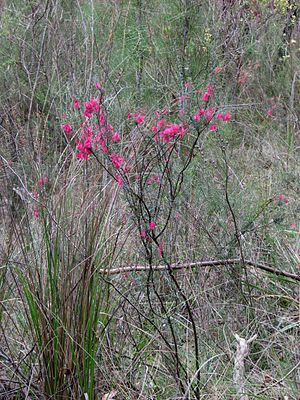 Epacris impressa - Erect habit, Belgrave South, Victoria