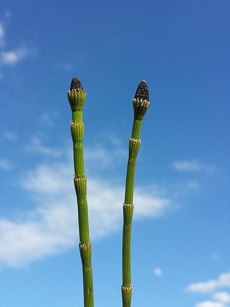 File:Equisetum ramosissimum (subsp. ramosissimum) sl9.jpg