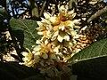 Eriobotrya japonica flors2009 002.JPG