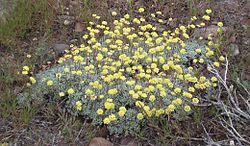 Eriogonum umbellatum 1.jpg