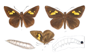 <i>Erionota</i> genus of insects