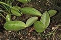 Eriospermum mackenii subsp. mackenii 1DS-II 9752.jpg