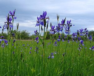 Iris sibirica - Iris sibirica growing in the grasslands of Germany