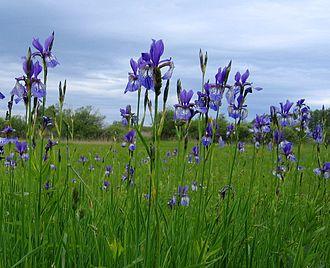Iris sibirica - Iris sibirica growing in the grasslands of Germany