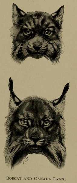 "The Canada lynx has distinct tufts atop its ears and longer ""mutton chop"" style fur on its lower face Ernest Ingersoll - lynx rufus & lynx canadensis.png"