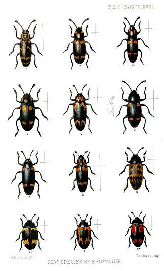 Erotylidae - Some pleasing fungus beetles described in the 19th century