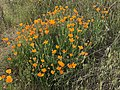 Eschscholzia californica 5 2018-05-06.jpg