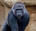 Especie de Gorila no identificada.jpg