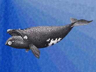 North Pacific right whale - Image: Eubalaena japonica drawing