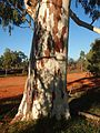 Eucalyptus camaldulensis bark.jpg