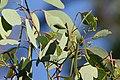 Eucalyptus polyanthemos (23909015201).jpg