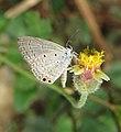 Euchrysops cnejus - Gram Blue 01.jpg