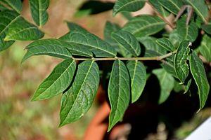Eugenia stipitata - leaves of Eugenia stipitata