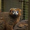 Eulemur rubriventer -Woburn Safari Park, Bedfordshire, England-8a.jpg