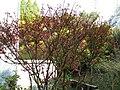 Euonymus alatus5.jpg