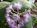 Eupatorium atrorubens (Compositae) flower 2.jpg