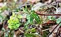 Euphorbia amygdaloides ENBLA05.jpg