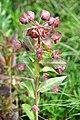Euphorbia amygdaloides Wood Spurge ნუშისფოთოლა რძიანა.JPG