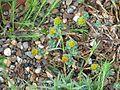 Euphorbia capitulata - Flickr - peganum (1).jpg