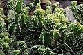 Euphorbia echinus Cristata in Jardin de Cactus on Lanzarote, June 2013 (1).jpg