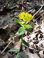 Euphorbia polychroma sl33.jpg