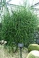 Euphorbia tirucalli - Shinjuku Gyo-en Greenhouse - Tokyo, Japan - DSC05918.jpg