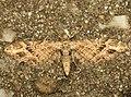 Eupithecia exiguata (14128346698).jpg