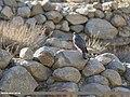 Eurasian Sparrowhawk (Accipiter nisus) (47484628592).jpg