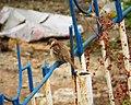 Eurasian Tree Sparrow. Passer montanus (30969396908).jpg