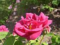 Europa-Rosarium-Rose-3.jpg