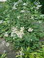 Eurybia macrophylla Aster macrophyllus BotGardBln07122011D.JPG