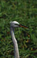 Everglades53(js)-Great Egret.jpg