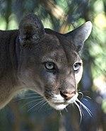 Everglades National Park Florida Panther