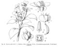 Exacum affine EP-IV2-029.png