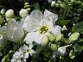Exochorda racemosa 3.jpg