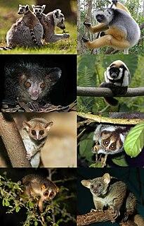 Lemuriformes