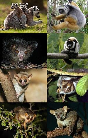 Lemuriformes - Image: Extant Strepsirrhini