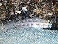 Eyebar goby (Gnatholepis anjerensis) (48852626598).jpg