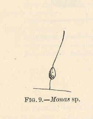 Monas (heterokont) - Image: FMIB 40819 Monas sp