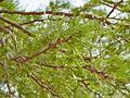 Fabaceae sp.-CTJ-IMG 6661.jpg