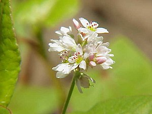 Buckwheat - Common buckwheat in flower