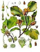 Fagus sylvatica - Köhler–s Medizinal-Pflanzen-060.jpg