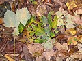Fallen leaves - geograph.org.uk - 596888.jpg