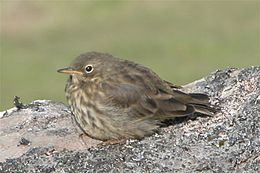 Faroe Island.1.bird