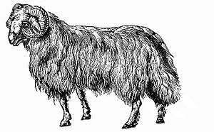 Fat-tailed sheep - 19th Century engraving of an eastern breed of fat-tailed sheep