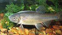 Fathead Minnow - Breeding Male.JPG