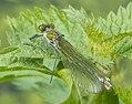 Female Banded Demoiselle (14287212240).jpg