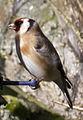 Female Goldfinch (4464269643).jpg