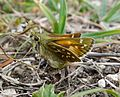 Female Silver-spotted Skipper. Hesperia comma - Flickr - gailhampshire.jpg
