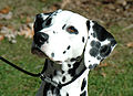 Female dalmatian head shot.jpg